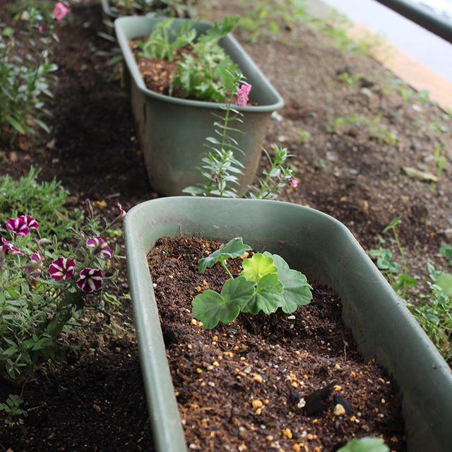 SAMURAIでは店前の花壇に季節ごとにお花を植えてますが、今日は追加でゼラニウムを4つ植えました。お花があると明るく、楽しい気持ちになります。#男着物 #SAMURAI #銀座 #歌舞伎座 #花 #ゼラニウム